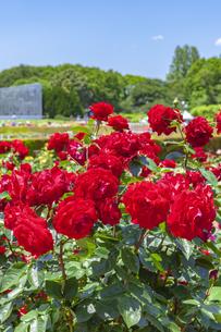 バラ咲く神代植物園 東京の写真素材 [FYI04499110]