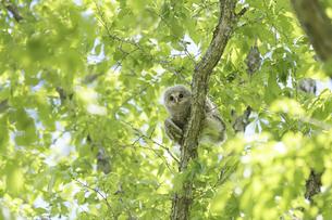木洩れ日のなかのエゾフクロウの幼鳥の写真素材 [FYI04499320]