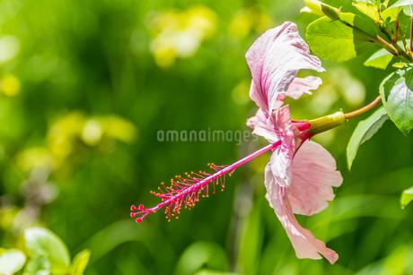 ピンクのハイビスカスの写真素材 [FYI04499501]