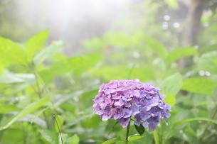 光を浴びる紫陽花の写真素材 [FYI04499636]