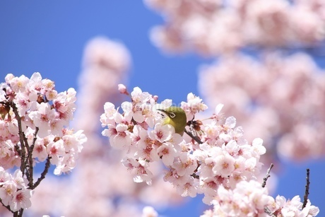桜に埋もれるメジロの写真素材 [FYI04499845]
