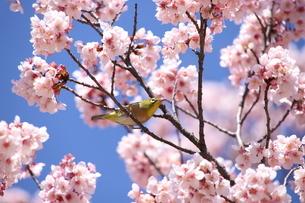 桜とメジロの写真素材 [FYI04500145]