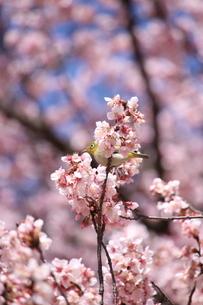 桜とメジロの写真素材 [FYI04500146]