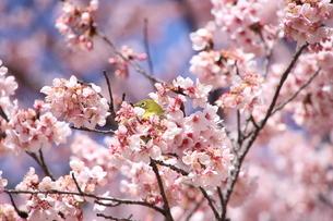 桜とメジロの写真素材 [FYI04500148]