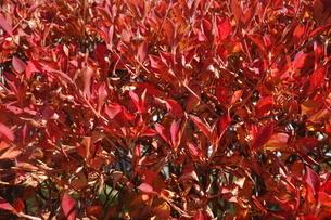 11月の赤い葉の街路樹の写真素材 [FYI04500266]