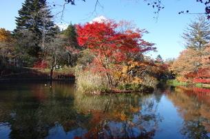11月上旬の軽井沢の雲場池の写真素材 [FYI04500359]