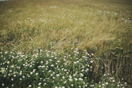 野に咲く花と麦の穂の写真素材 [FYI04500457]