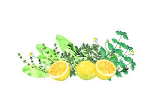 レモンとハーブ水彩画のイラスト素材 [FYI04500465]