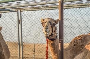アラビア砂漠のラクダ(アラブ首長国連邦)の写真素材 [FYI04500500]