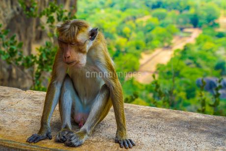 猿(スリランカ・シーギリヤロック)の写真素材 [FYI04500747]