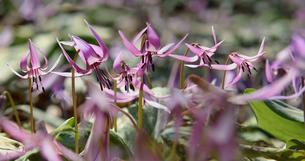 カタクリの花の写真素材 [FYI04501224]