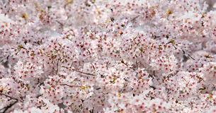 ソメイヨシノの写真素材 [FYI04501235]