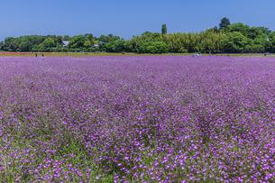 埼玉県 麦ナデシコの花畑の写真素材 [FYI04501907]