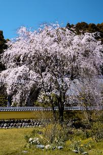 瑞巌寺の枝垂れ桜の写真素材 [FYI04502074]