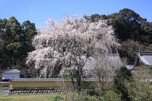 瑞巌寺の枝垂れ桜の写真素材 [FYI04502076]
