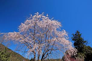 瑞巌寺の枝垂れ桜の写真素材 [FYI04502081]