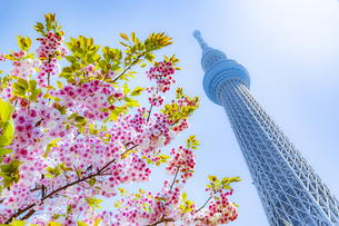スカイツリーと八重桜の写真素材 [FYI04502137]