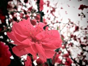 モモの花の写真素材 [FYI04502166]