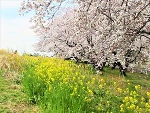 桜と菜の花の世界の写真素材 [FYI04502181]