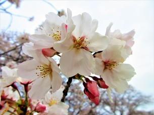 春のお花見の写真素材 [FYI04502187]
