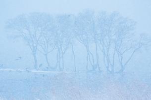 冬 雪の湖北水鳥公園の写真素材 [FYI04502278]
