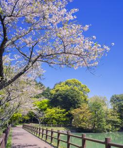 佐賀県 桜 鏡山の写真素材 [FYI04502386]