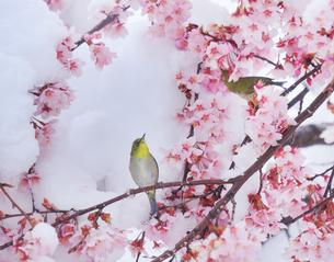 メジロのペアと雪と桜の写真素材 [FYI04502421]