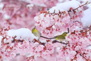 メジロのペアと雪と桜の写真素材 [FYI04502422]