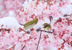 メジロのペアと雪と桜の写真素材 [FYI04502423]