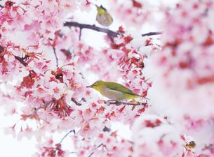 メジロのペアと雪と桜の写真素材 [FYI04502424]