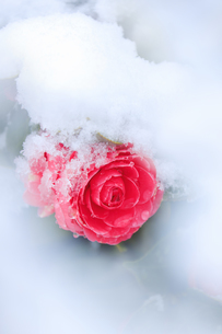 雪と椿の写真素材 [FYI04502428]
