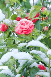 雪と椿の写真素材 [FYI04502437]