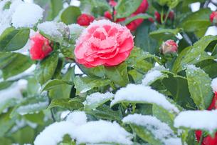 雪と椿の写真素材 [FYI04502438]