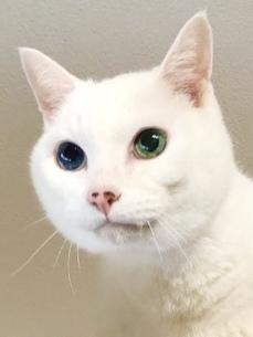 白猫の写真素材 [FYI04502471]