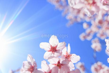 桜のアップと太陽の光芒の写真素材 [FYI04502578]