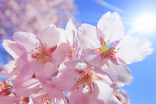 桜のアップと太陽の光芒の写真素材 [FYI04502579]