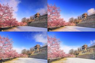 日の当たり行く朝の新雪の桜並木と西櫓の写真素材 [FYI04502583]