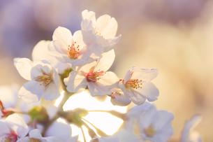 桜のアップと朝日の木もれ日の写真素材 [FYI04502595]