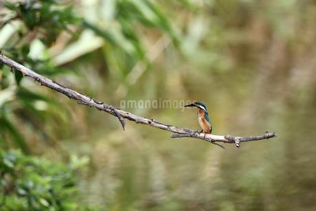 カワセミの幼鳥の写真素材 [FYI04502633]