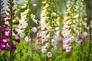 アンデルセン公園花壇のジギタリスの写真素材 [FYI04502662]