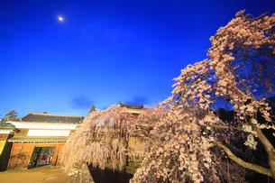 薄暮の東虎口櫓門と桜のライトアップと三日月の写真素材 [FYI04502723]