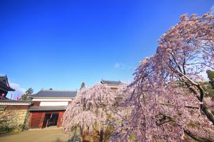 東虎口櫓門と桜の写真素材 [FYI04502727]