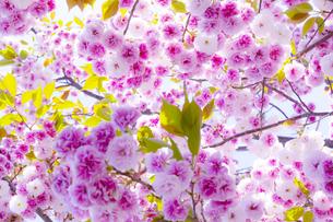 陽光注ぐ満開の八重桜の写真素材 [FYI04502819]