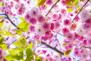 陽光注ぐ満開の八重桜の写真素材 [FYI04502821]
