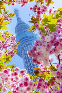 八重桜とスカイツリーの写真素材 [FYI04502824]