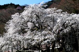 池田山、霞間ヶ渓の一本桜の写真素材 [FYI04502870]