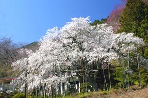 池田山、霞間ヶ渓の一本桜の写真素材 [FYI04502873]