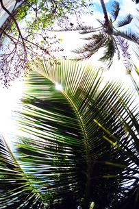 ハワイのヤシの木   palm tree in Hawaii  の写真素材 [FYI04502941]