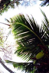 ハワイのヤシの木   palm tree in Hawaii  の写真素材 [FYI04503092]