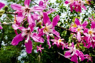 トックリキワタの花の写真素材 [FYI04503112]